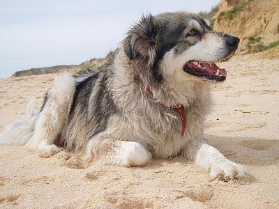 Bongo the Carpathian Shepherd dog is laying in sand with its mouth open and dunes are in the background