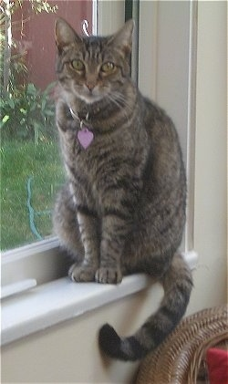 Gypsy the Tabby cat is sitting on a windowsill and looking at the camera holder