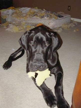 Foose the Great Dane is laying on a carpeted floor with a piece of foam in its mouth and a destroyed ripped up mattress behind him