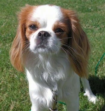 Lady, the Cava-Chin (Cavalier King Charles Spaniel / Japanese Chin mix