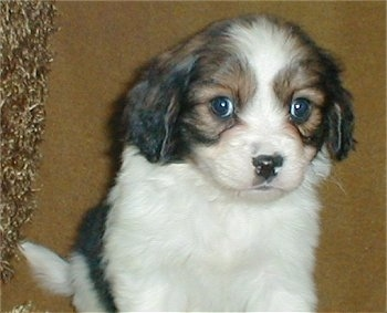 Close up - A cute, little, short-coated, white with black and tan Cav-A-Mo puppy is sitting on a carpet and it is looking forward.