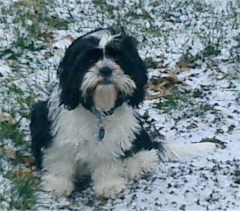 Charlie the black and white Cava-Tzu is sitting on snow and grass
