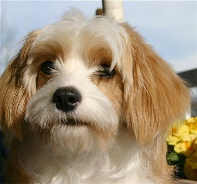 Close Up - Sammy the Cavachon is sitting in front of yellow flowers