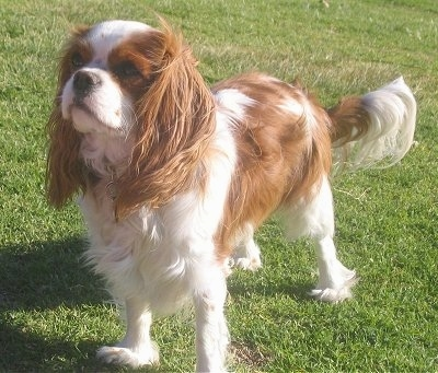 Daphne the Cavalier King Charles Spaniel is standing outside in grass and the wind is blowing her fur