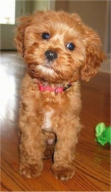 Charlie the Cavapoo is sitting on a hardwood floor and its head is tilted to the right. There is a green toy next to it