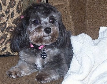 Close up - A fluffy, black with brown and white Cavapoo is laying on a couch and its bottom half is covered by a towel. It has longer hair on its ears.