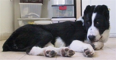 Gulliver the black and white Central Asian Ovtcharka puppy is laying on a tiled floor