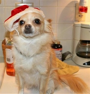 Chico the Chihuahua is sitting on a countertop. Chico has on a Santa Hat that has a beard attached to it and in the background is a coffee maker, a container of fish oil and liquid soap