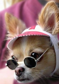 Close Up - Chico the Chihuahua is wearing John Lennon glasses and a hat that wraps around his head
