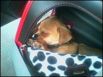 Wicket the Chin-wa puppy is sleeping inside of a carrying bag.