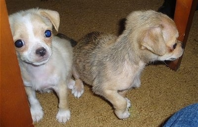 Two Chin-wa puppies, Killah and Wicket, are sitting next to the legs of a wooden table on a brown carpet