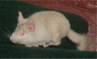 Side view - A pink white chinchilla is running across a green towel. It is looking to the left.