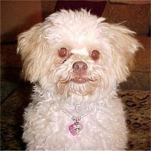 Mavis full grown at 2 years old and 10 pounds - Chi-Poo (Chihuahua / Poodle cross)