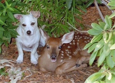 Bailey the Chiweenie is sitting next to a young white-tail deer with spots on its back hiding in lots of leaves