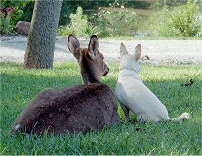 Bailey the Chiweenite and A Young White-tail deer are sitting in a lawn