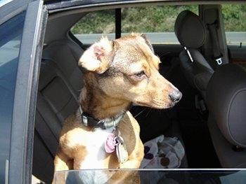 Jerry the Chiweenie is jumped up against the back seat window. The window is down and he is looking to the right