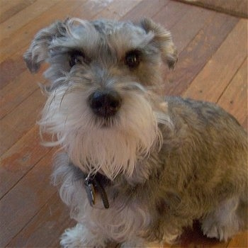Close Up - Sprocket the gray with white Chonzer is sitting on a hardwood floor and looking at the camera