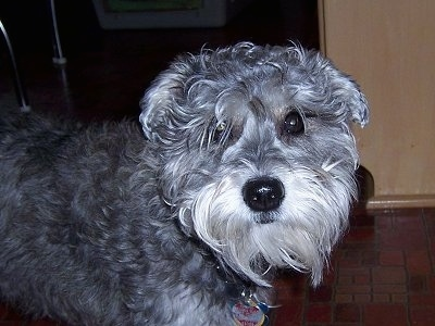 Sprocket, the Chonzer (Bichon Frise / Mini Schnauzer hybrid)