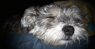 Close Up head shot - Sprocket the Chonzer is sleeping on a persons leg