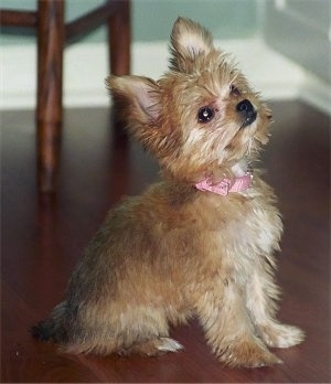 Close Up - Ellie the tan perk-eared Chorkie puppy is sitting on a hardwood floor and looking up