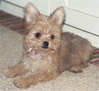 Close Up - Ellie the tan perk eared Chorkie puppy is laying on a carpet wearing a pink collar and there is a door behind her