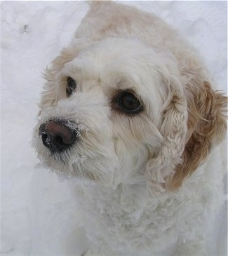 Bailey, the Cock-A-Chon (Bichon Frise / Cocker Spaniel hybrid) at 3� years old