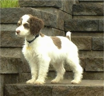 Basil the white and brown Cockapoo is standing on a stone step