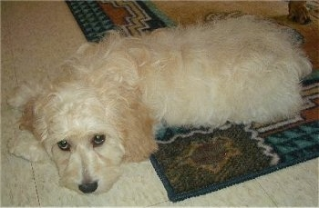 Cody the cream Cockapoo puppy is laying down half way on a throw rug with his head on a white tiled floor