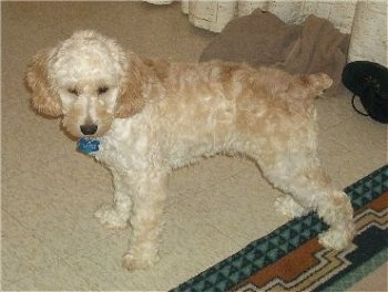 Cody the cream Cockapoo is standing on a tiled floor with this back leg on a throw rug and looking down towards the ground