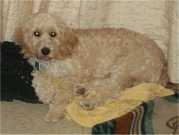 Cody the cream Cockapoo is laying on a towel leaning his head on a pair of black boots. There is a Curtain hanging down behind him and a throw rug to his right