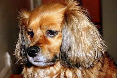 Cockeranian Dog Breed Information and Pictures