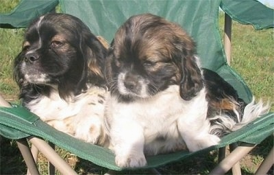 Two small, white with black and tan Cockinese puppies are sitting and laying outside in a green lawn chair.