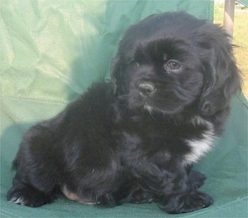 Cockinese (Pekingese/Cocker Spaniel hybrid)