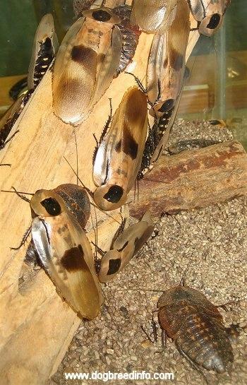 flying cockroaches rainforest detroit zoo