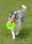 Faith the blue merle Rough Collie is trotting through a lawn with a green frisbee in her mouth