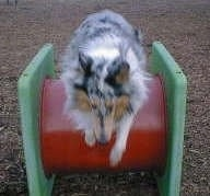 Faith the blue merle Rough Collie is jumping over a red and green obstacle in a park