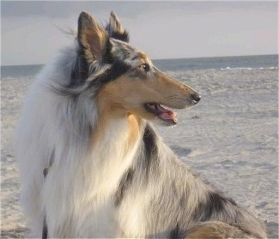 Faith the blue merle Rough Collie is sitting outside in sand and looking to the right with the ocean in the distance behind her