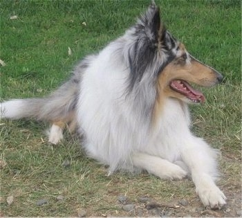Faith the Blue Merle Rough Collie is laying outside in grass and looking to the right