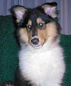 Piper the tricolor Rough Collie puppy is sitting on a green couch and there are white curtains behind her