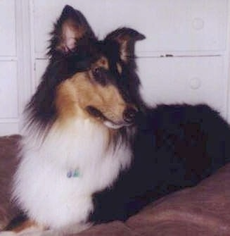 Piper the black, tan and white tricolor Rough Collie is laying on a bed in front of a white dresser
