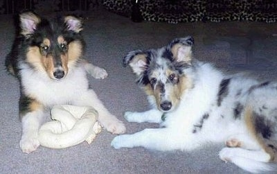 Piper the tricolor and Faith the blue merle Rough Collie puppies are laying on a carpet with a large rawhide bone toy in front of them