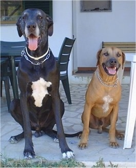 A black with white Great Dane dog and A brown with white Rhodesian Ridgeback dog are sitting on a back porch in front of black plastic tables and chairs. They look happy with their mouths open and tongues out.
