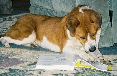 The front right side of a brown and white Shepherd mix that is laying on a rug with his paws on a textbook as if it is reading