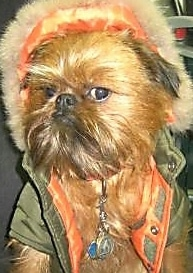 Close Up - A Brussels Griffon dog is wearing a green jacket that is orange on the inside and looking to the right with attitude on its face.