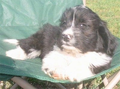 Jock the black and white Copica puppy is laying in a lawn chair. Jock is giving side-eye to the camera holder