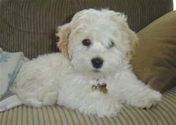 Sultan the Coton De Tulear puppy is laying on a tan couch in front of a pillow. One of Sultans eyes are covered by hair