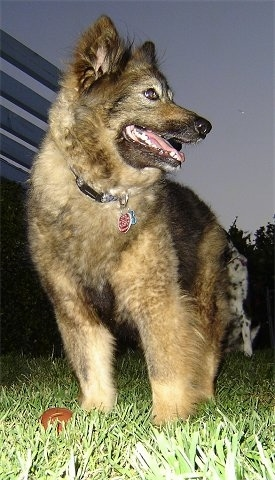 Sacchetto the Coydog is standing outside at night and looking to the right