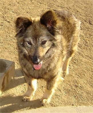 Sacchetto the Coydog (Domestic Dog / Coyote hybrid)