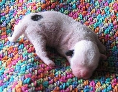 A newborn white with black Crested Tzu puppy is laying on a colorful crocheted blanket