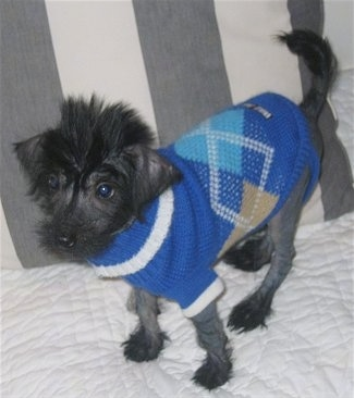 Winkx the hairless Crestepoo is wearing a blue plaid sweater and looking to the left standing on a bed